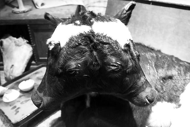 cow_head